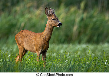 Young roe deer buck with antlers standing on a green meadow and feeding