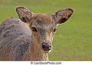 Young Roe Deer (Capreolus), Germany