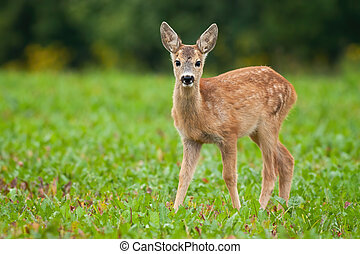 Young roe deer standing on meadow in summer nature.