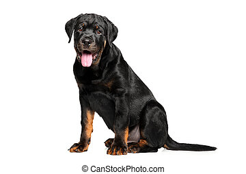 Young Rottweiler on white background