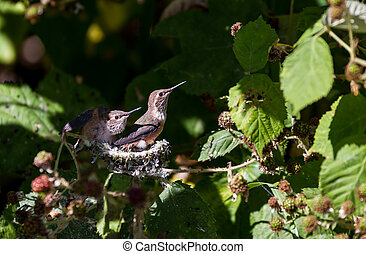 Rufous Hummingbird - Young Rufous Hummingbird and nest