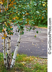 Young Russian birches in the autumn