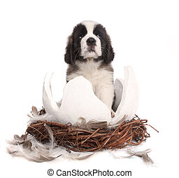 Young Saint Bernard Puppy on White Background