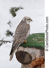 Young saker falcon is sitting on a stump. Falco cherrug.