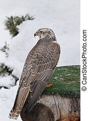 Young saker falcon is sitting on a stump. Falco cherrug. Close up.