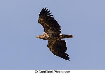 young sea eagle in flight Haliaeetus albicilla