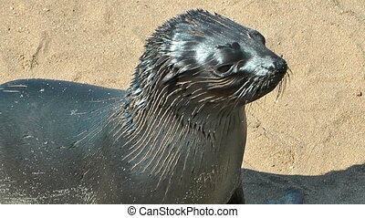young sea lion at cape cross - young sea lion close up at...
