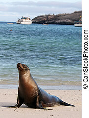Young Sea Lion - A young Sea Lion rests on the warm sands of...