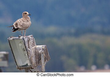 Young seagull on a lamp with spider webs