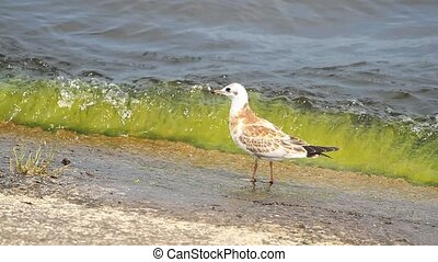 Young seagull on the sea - Young seagull walking on the sea