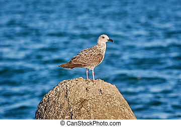Young Seagull on the Stone