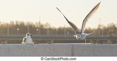 Young Seagull Taking Off