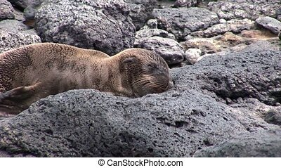 Young seal lion relax on beach of Galapagos Islands.