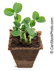 Young seedling of green peas in peat pot isolated on a white background
