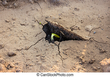 young seedling seed germinating in soil
