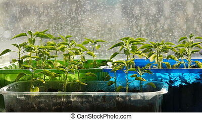 Young seedlings are planted in the multi-colored plastic...