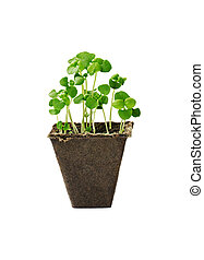 Young seedlings of basil in a small pot