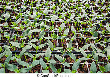 Young seedlings of cucumbers in tray.