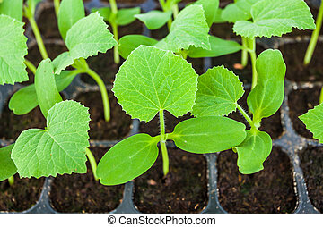 Young seedlings of melon in tray.