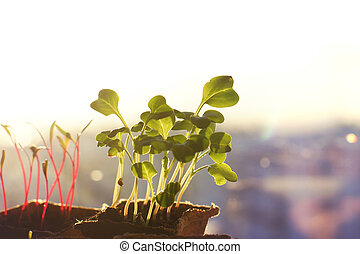 Young seedlings of radishes and beets in peat pots on the window, morning rays of the sun, copyspace