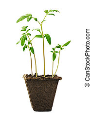 Young seedlings of tomato in a small pot