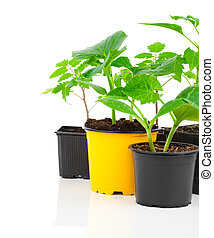 Young seedlings of vegetables ready for planting, in a pot, on white background