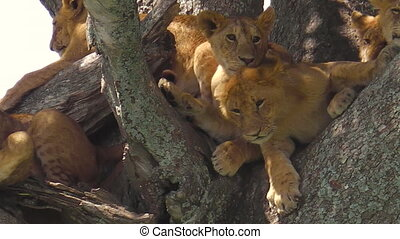 young lions with cubs on the trees of the Serengeti National Park, Tanzania, Africa. Panthera Leo species. Panthera Leo in nature habitat. The lion is part of the Big Five.