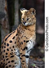 Young serval cat (Felis serval)