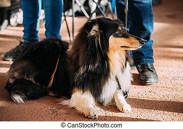 Young Shetland Sheepdog, Sheltie, Collie dog