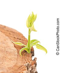 Young shoot on an old stump over white background close-up