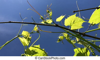 Young shoots of a vine on a background of a spring blue sky....