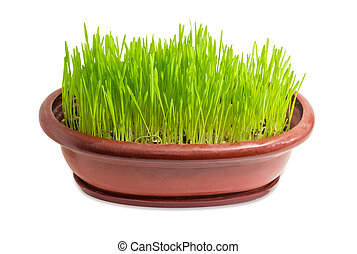Young shoots of barley in a flower pot
