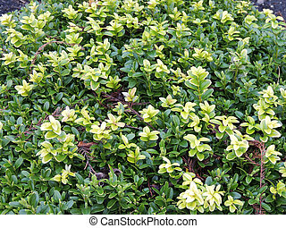 Young shoots of boxwood, Buxus, in early spring