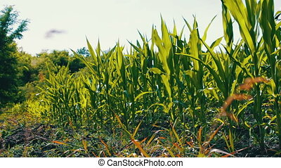 Young shoots of corn grow in a summer field