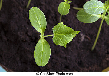 young shoots of cucumber