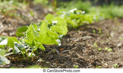Young shoots of cucumber growing in a garden.