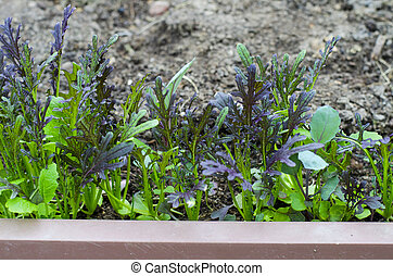 Young shoots of lettuce in garden.