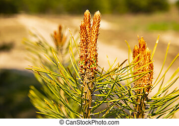 Young shoots of pine in spring - Earth Day