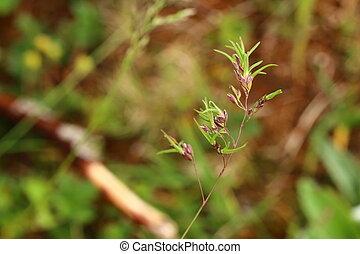 Young shoots of Poa bulbosa, bulbous meadow-grass, growing ...