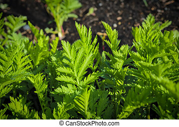 Young shoots of wormwood on a blurred background. Wormwood plant used for herbal medicine.