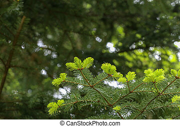 Young shoots on a fir branch in the forest