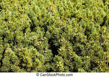 Young siberian cedar forest with green cones