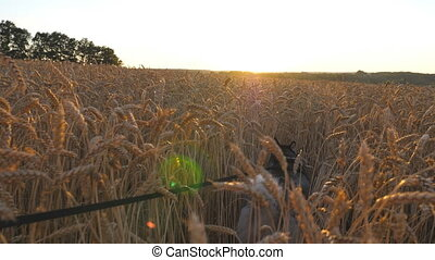 Young siberian husky dog pulling the leash during walking across tall spikelets at meadow on sunset. Beautiful pet jogging at golden wheat field on summer day. Sunlight at background. POV Close up