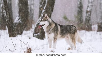 Young Siberian Husky Dog Running Outdoor In Winter Snowy...