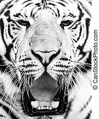 Young siberian tiger portrait with open mouth and sharp teeth