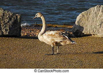 Young Signet