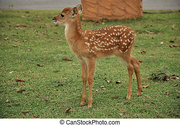 Young sika deer - The Sika deer is one of the few deer ...