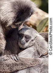 Young Silvery Moloch Gibbon with Mother