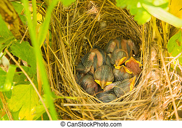 young small bird a blind chick requires food with a bright yellow beak in a nest hidden in the grass from predators