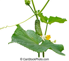 Young small cucumber on the stem. Cucumbers grow on a stalk